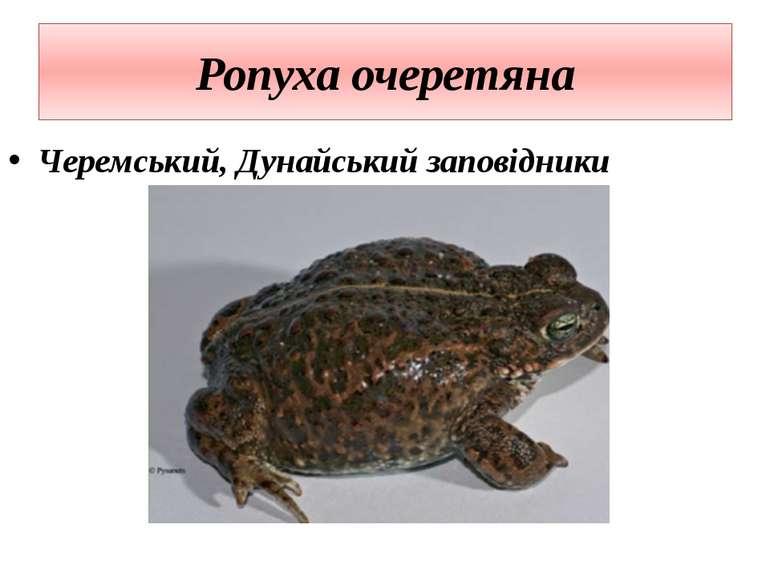 Ропуха очеретяна Черемський, Дунайський заповідники