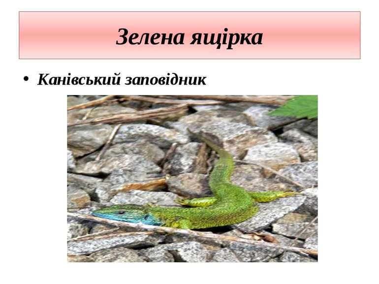 Зелена ящірка Канівський заповідник