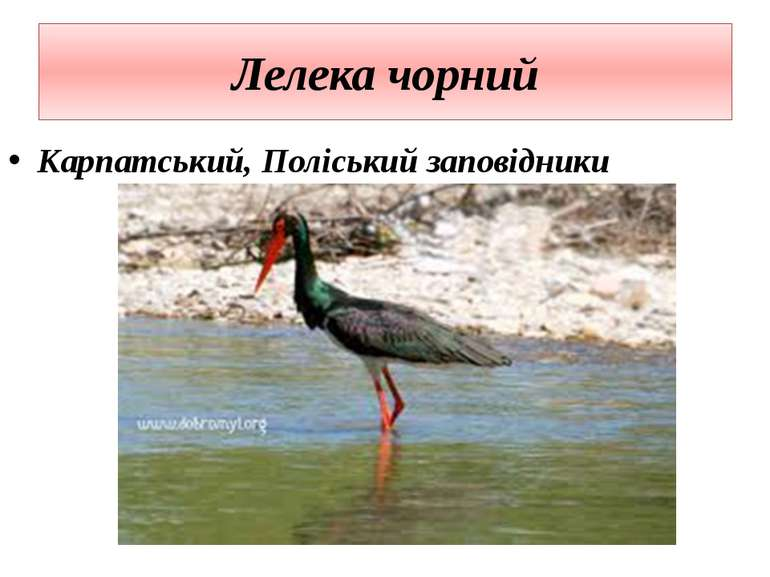 Лелека чорний Карпатський, Поліський заповідники