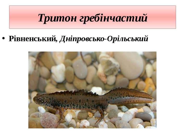 Тритон гребінчастий Рівненський, Дніпровсько-Орільський