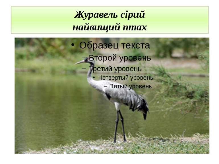 Журавель сірий найвищий птах