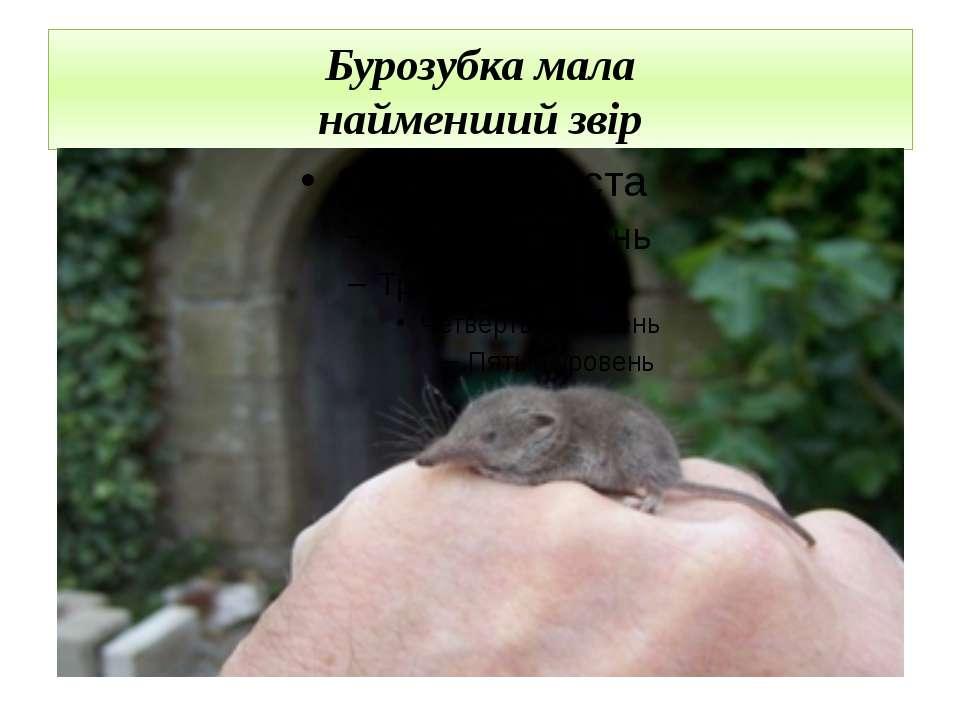 Бурозубка мала найменший звір