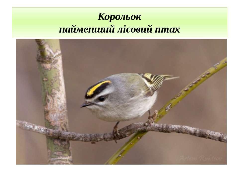 Корольок найменший лісовий птах