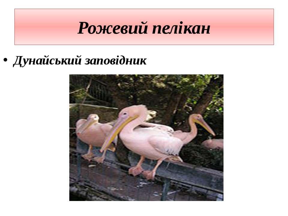 Рожевий пелікан Дунайський заповідник