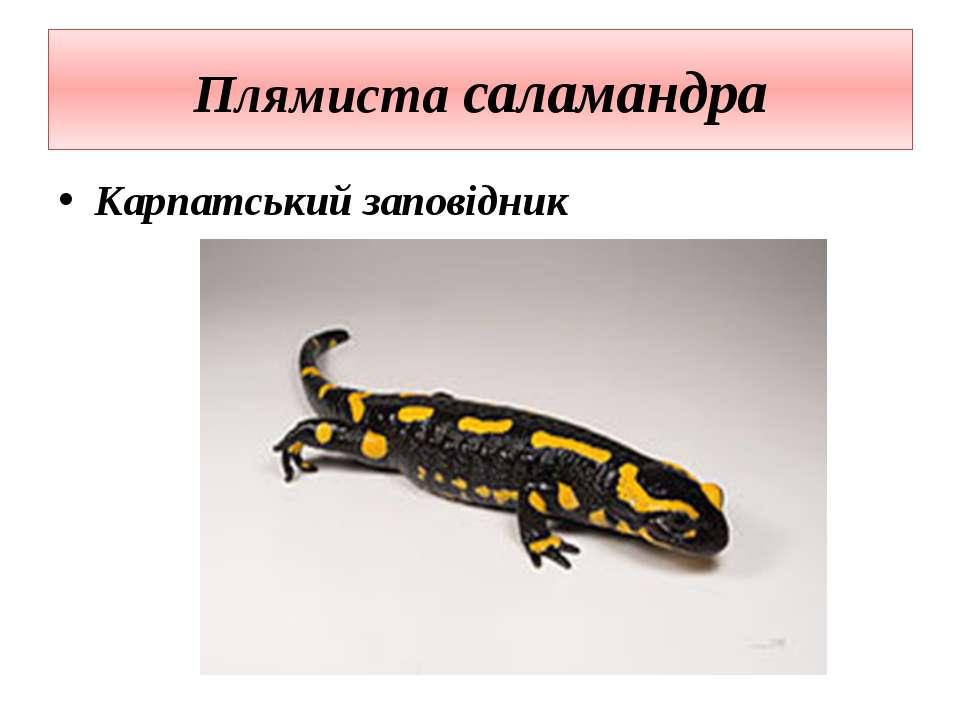 Плямиста саламандра Карпатський заповідник
