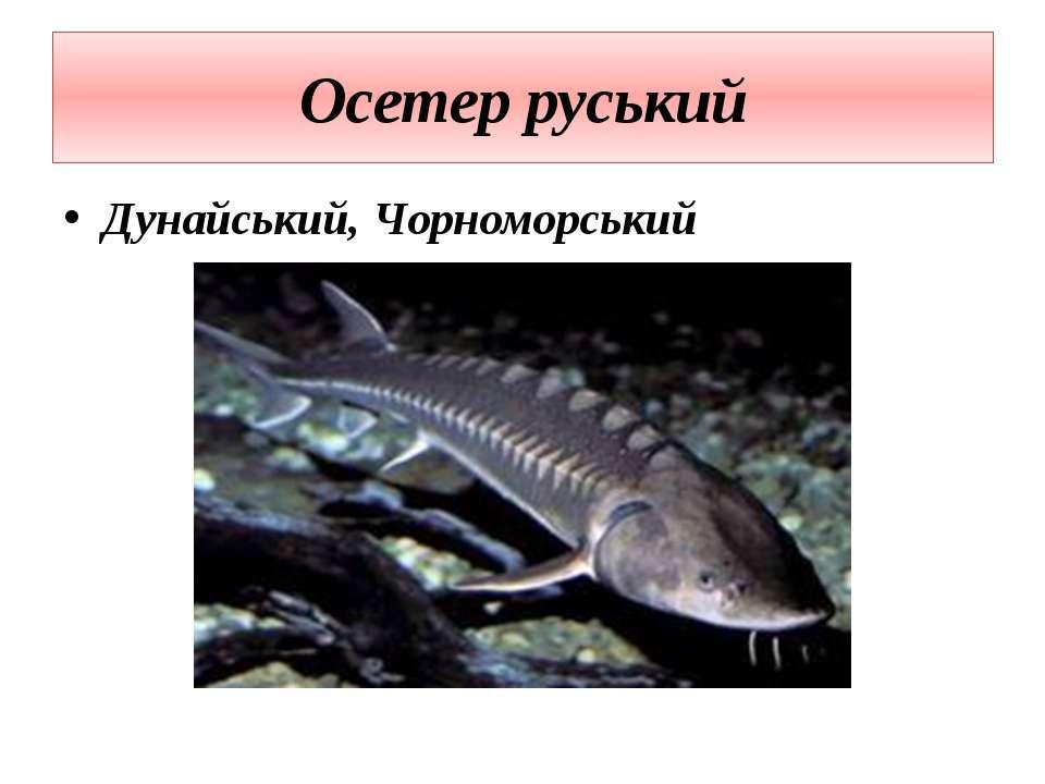 Осетер руський Дунайський, Чорноморський