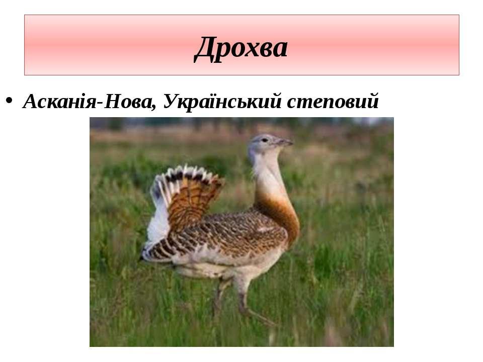 Дрохва Асканія-Нова, Український степовий