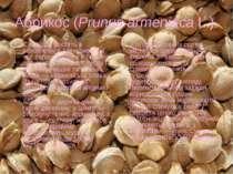 Абрикос (Prunus armeniaca L.) Є 8 видів, ростуть в основному в Азії, тривалий...