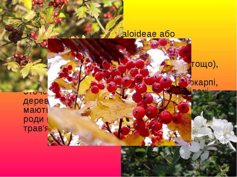Підродина Яблуневі (Maloideae або Pomoideae): Традиційно включала ті роди (яб...