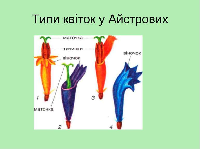 Типи квіток у Айстрових