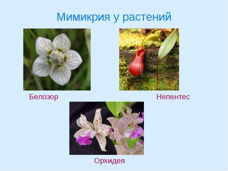 Мимикрия у растений Белозор Непентес Орхидея