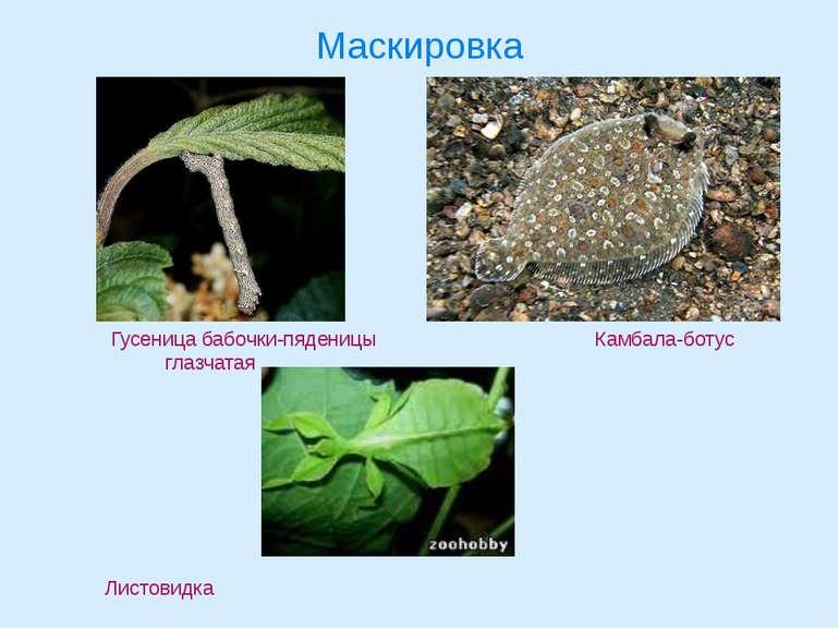 Маскировка Гусеница бабочки-пяденицы Камбала-ботус глазчатая Листовидка