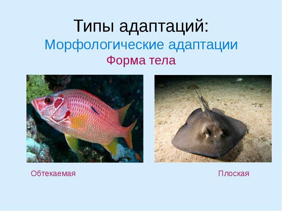 Типы адаптаций: Морфологические адаптации Форма тела Обтекаемая Плоская