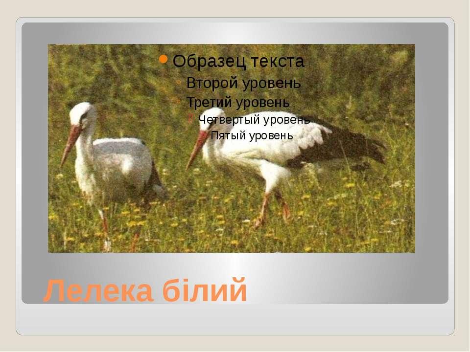 Лелека білий