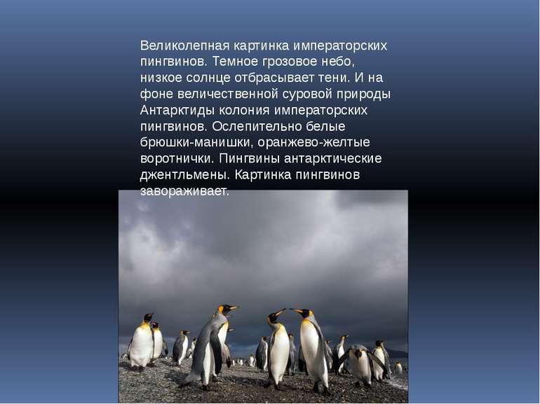 Великолепная картинка императорских пингвинов. Темное грозовое небо, низкое с...