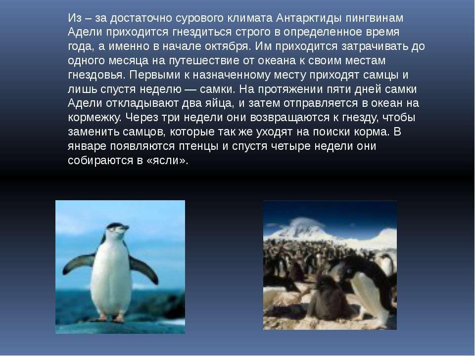 Из – за достаточно сурового климата Антарктиды пингвинам Адели приходится гне...