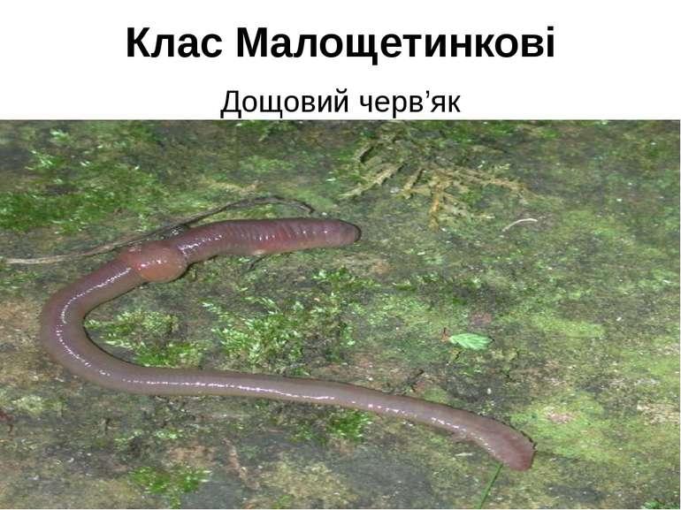 Клас Малощетинкові Дощовий черв'як