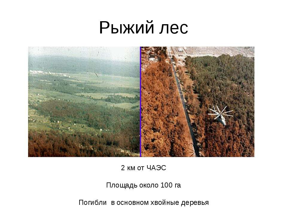 Рыжий лес 2 км от ЧАЭС Площадь около 100 га Погибли в основном хвойные деревья
