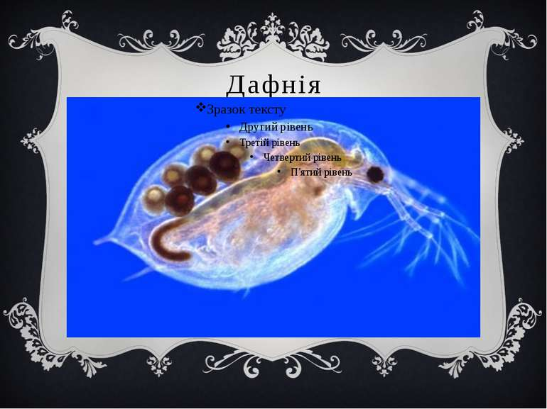 Дафнія