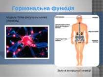 Гормональна функція Залози внутрішньої секреції Модель білка-регулювальника (...