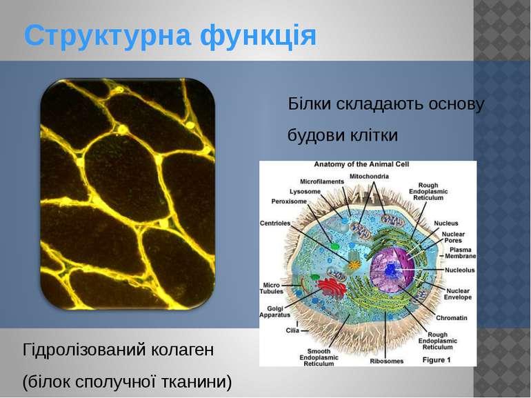 Структурна функція Білки складають основу будови клітки Гідролізований колаге...