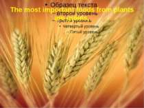 The most important foods from plants are grains,