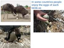 In some countries people enjoy the eggs of such birds as emus gulls penguins