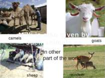 camels goats sheep reindeer Milk is also given by such animals as in other pa...