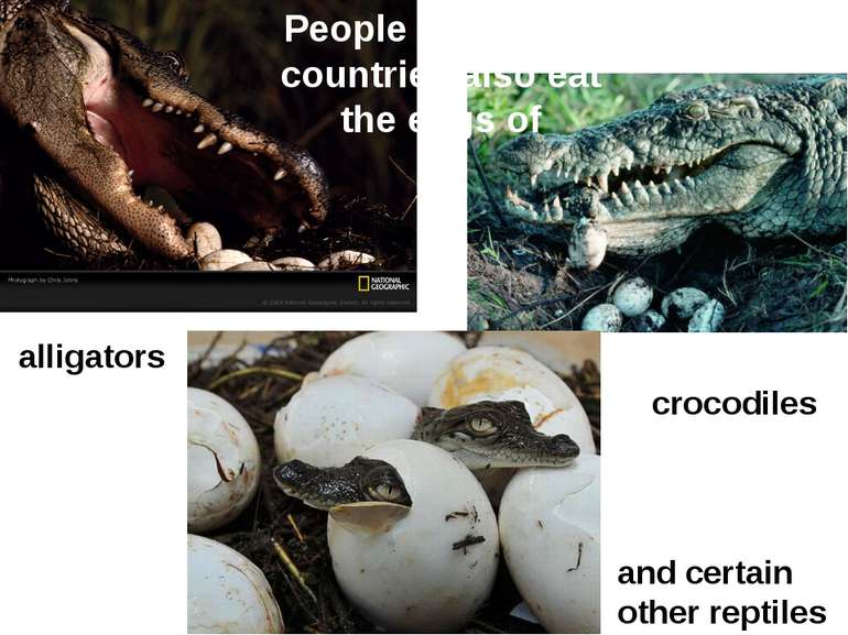 alligators crocodiles and certain other reptiles People of various countries ...