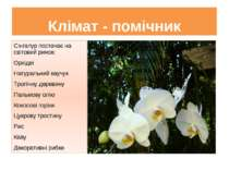Клімат - помічник Сінгапур постачає на світовий ринок: Орхідеї Натуральний ка...