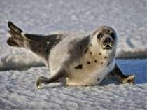 Тюлені живуть на Півночі, у Льодовитому океані. Ловлять рибу. Вони чорні, бур...