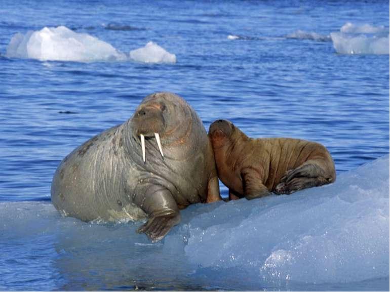 Моржі також тюлені, тільки дуже великі і з іклами. Живуть у найглухіших місця...