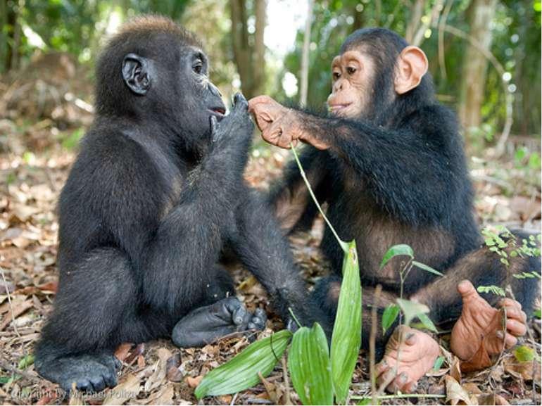 Мавпочки живуть в Африці, у тропіках. Лазять по деревах. Поїдають плоди і мол...