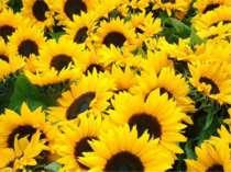 Усюди є небо, і зорі скрізь сяють, І квіти усюди ростуть, Та тільки одну Бать...
