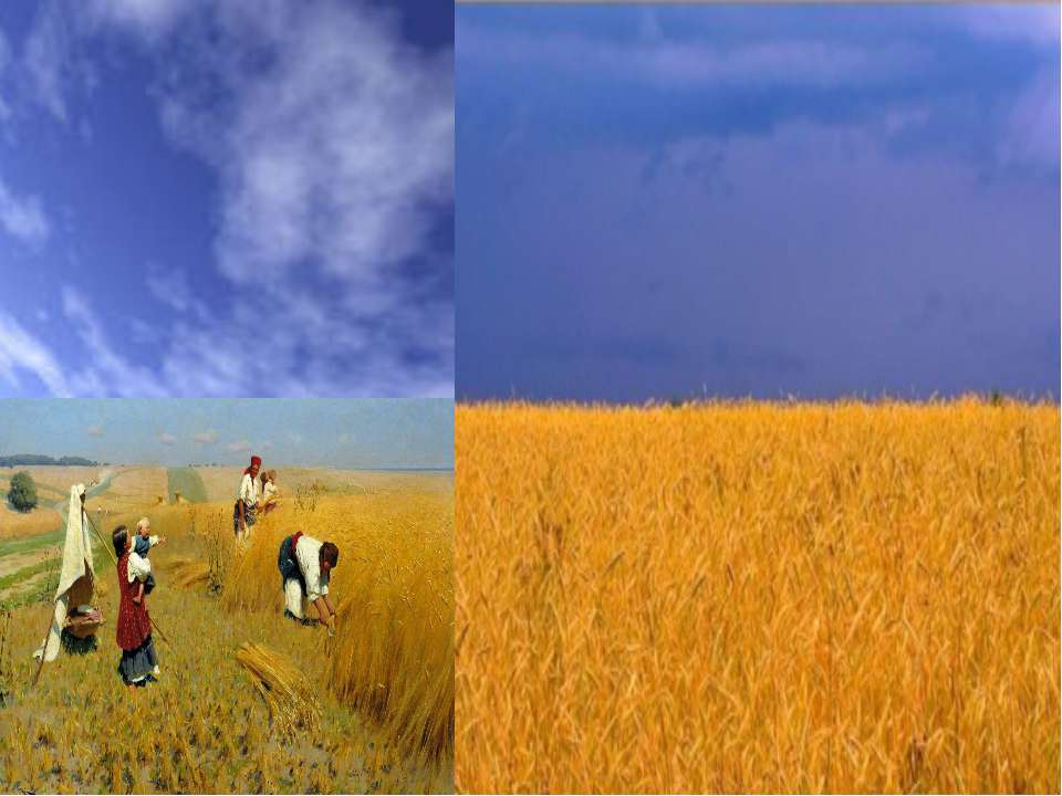 Жовтий колір – це колір пшеничної ниви, зерна, що дає життя всьому сущому на ...