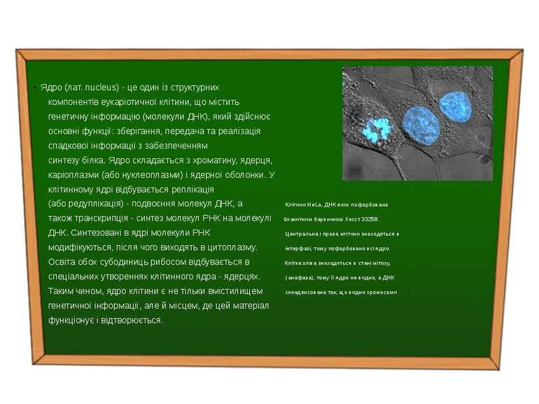 Ядро (лат. nucleus) - це один із структурних компонентів еукаріотичної клітин...