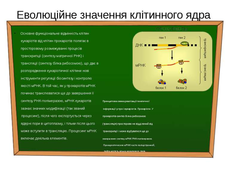 Еволюційне значення клітинного ядра Основне функціональне відмінність клітин ...
