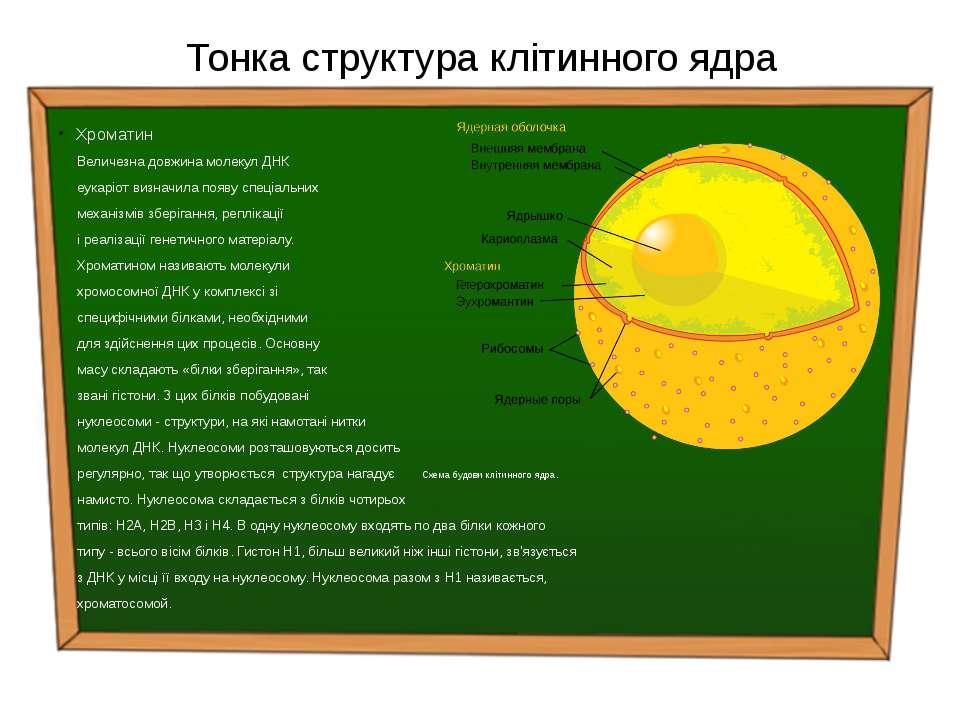 Тонка структура клітинного ядра Xроматин Величезна довжина молекул ДНК еукарі...