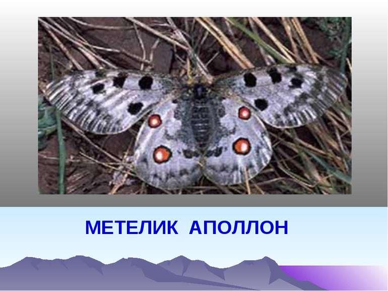 МЕТЕЛИК АПОЛЛОН