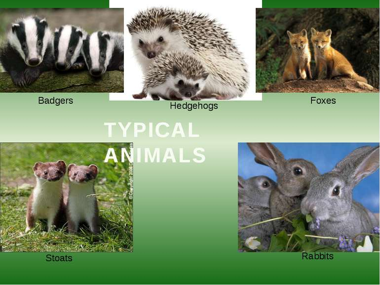 Hedgehogs Badgers Foxes Stoats Rabbits TYPICAL ANIMALS