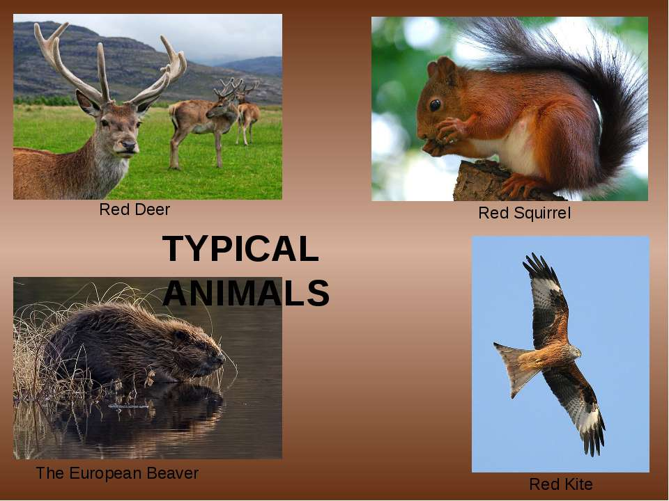 Red Deer Red Squirrel The European Beaver Red Kite TYPICAL ANIMALS
