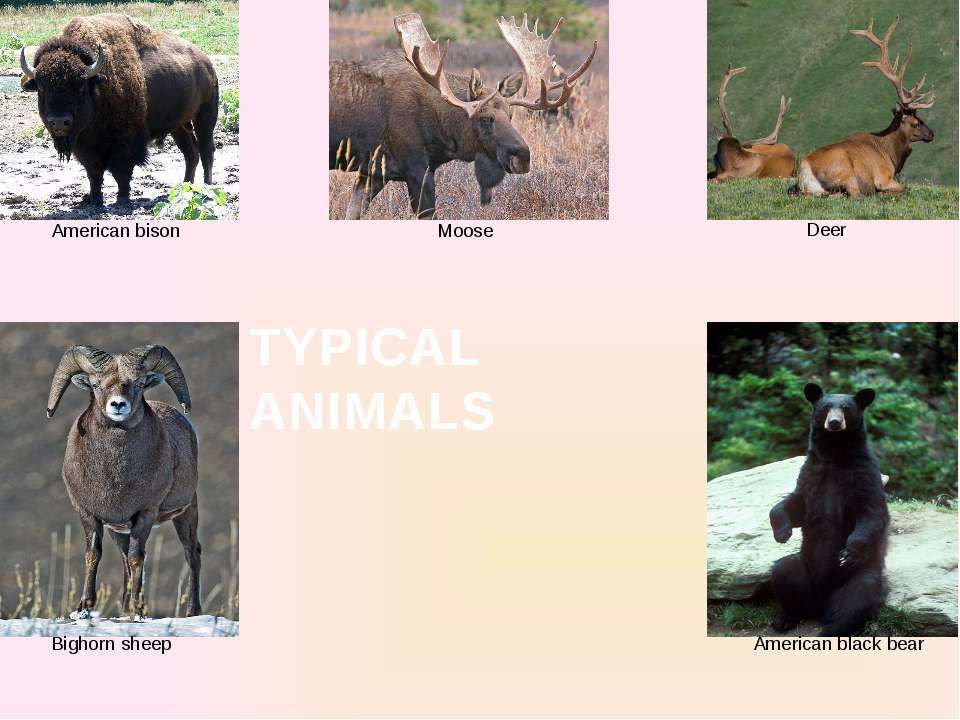American bison American black bear Moose Bighorn sheep Deer TYPICAL ANIMALS