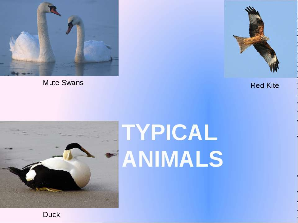 TYPICAL ANIMALS Mute Swans Red Kite Duck