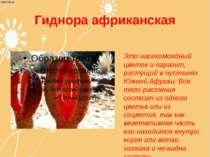 Гиднора африканская Это насекомоядный цветок и паразит, растущий в пустынях Ю...