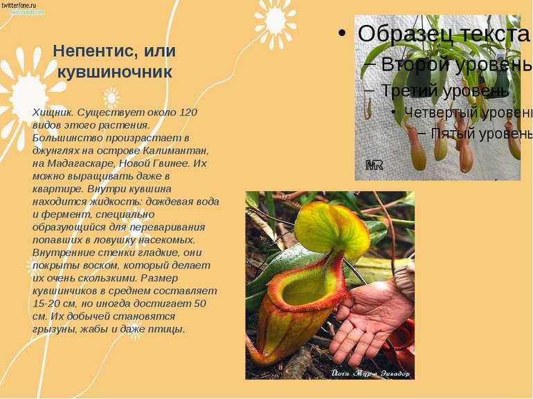 Непентис, или кувшиночник Хищник. Существует около 120 видов этого растения. ...