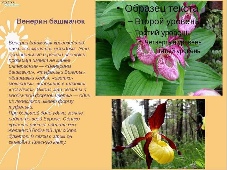 Венерин башмачок красивейший цветок семейства орхидных. Эти оригинальный и ре...