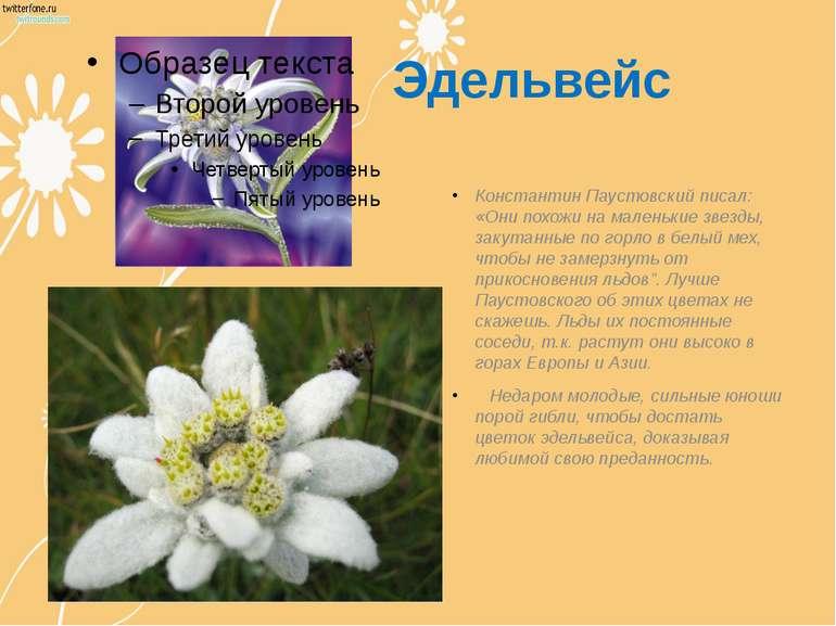 Эдельвейс Константин Паустовский писал: «Они похожи на маленькие звезды, заку...