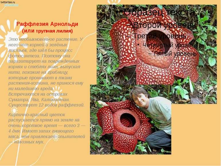 Раффлезия Арнольди (или трупная лилия) Это необыкновенное растение. У него не...