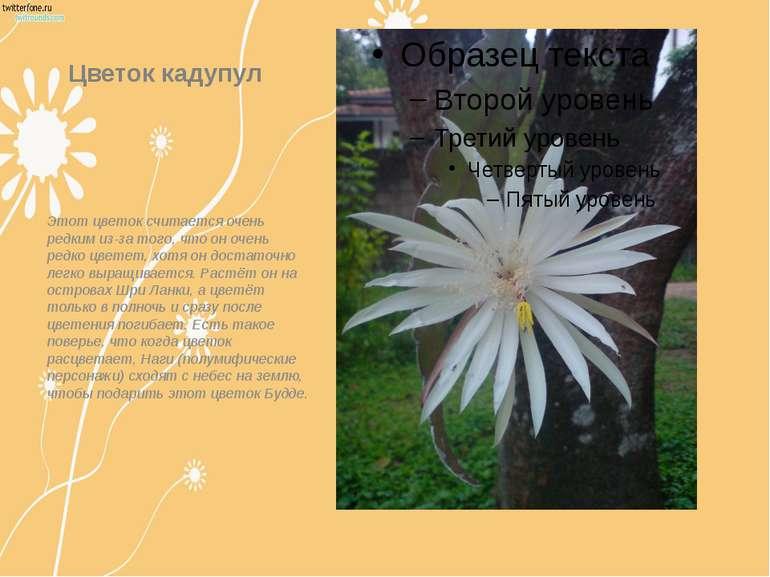 Цветок кадупул Этот цветок считается очень редким из-за того, что он очень ре...