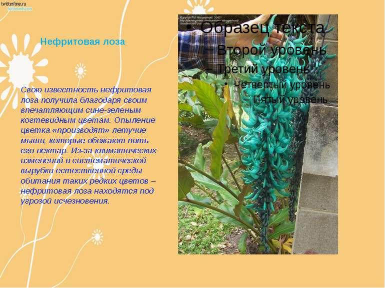 Нефритовая лоза Свою известность нефритовая лоза получила благодаря своим впе...
